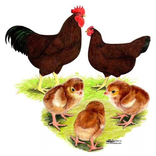 Critteryard Com Our Chickens Rhode Island Red